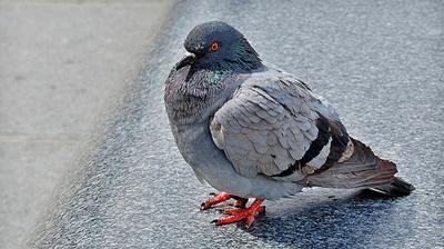 4144-leith-walk-pigeons-return